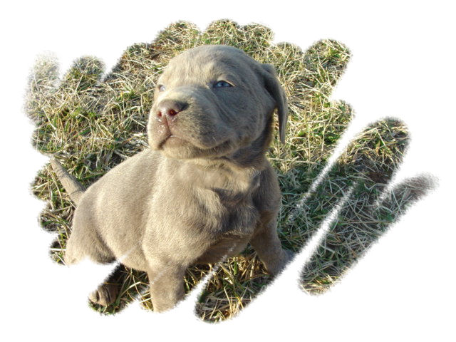 Ellendale Labradors - Breeders of Silver, Charcoal, & Silver-factored Black Labs