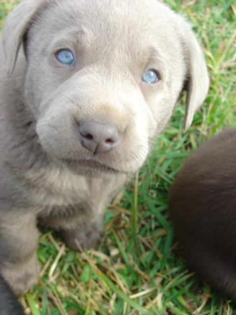 Yellow Lab With Blue Eyes Ellendale labradors - our dogsYellow Lab With Blue Eyes
