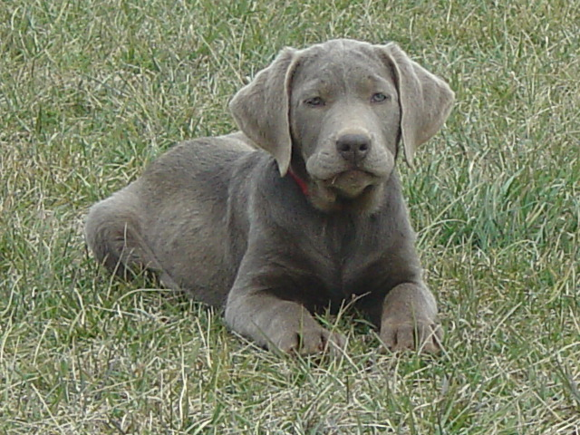 Ellendale Labradors - Our Dogs, Reserving Your Puppy