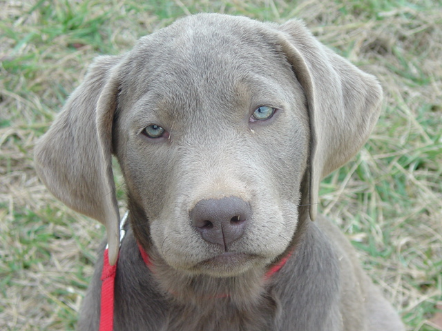 Duda en sus ojos - (Labrador Retriever) | Perros.com