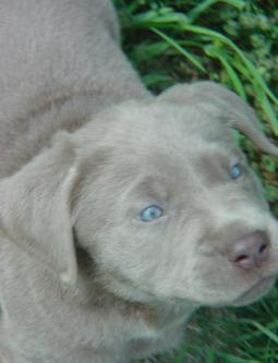 Light Silver Puppy Showing Off Those Blue Eyes