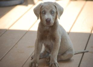 Trooper, Light Silver Labrador